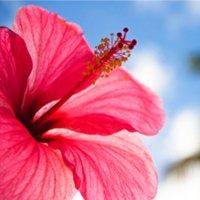 Polynesian Hibiscus Fragrance Oil 1 Oz. Pure Premium Uncut Fragrance Oil