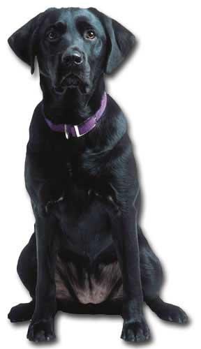 (Paper House Productions Black Labrador Retriever Blank Card)