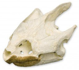 Snapping Turtle Skull (Teaching Quality Replica) (Snapping Shell Turtle)