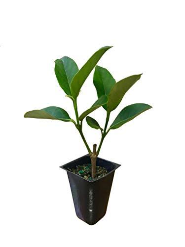 Viburnum Tree - Sweet Viburnum Odoratissimum Qty 40 Live Plants Privacy Hedge