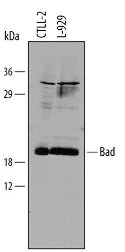 Mouse Bad N-Terminus Antibody, 25 ug
