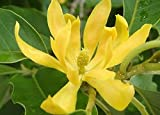Joy Perfume Fragrant Himalayan Champaca 5 Seed-Michelia