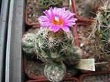 Escobaria hesteri Hardy Ball Cactus Seeds!#greg0365