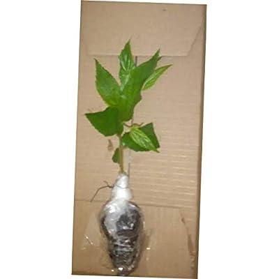 FCP 1 Pcs Plant Muntingia Calabura - Real Strawberry Tree - 93EB : Garden & Outdoor