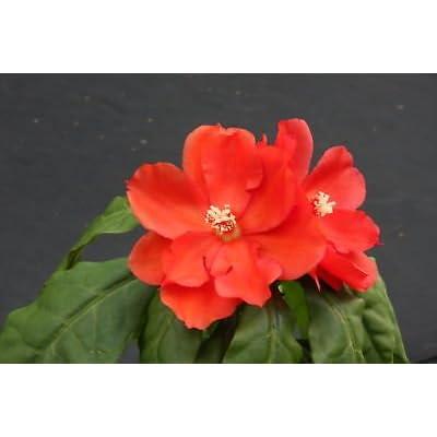 """Pereskia bleo, rare cacti plant abrojo rodocactus spine cactus succulent 4"""" pot : Garden & Outdoor"""