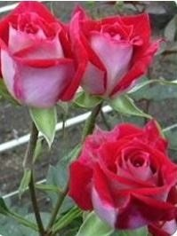 120 Real Fresh Spray Rose, Red Hero by FarmDirect