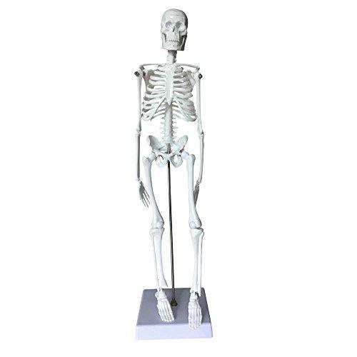 (Skeleton Set Model,OIF Human Skeleton Set Anatomical Scientific 45cm Full Set Body Christmas Halloween Decorated)
