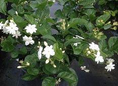 PlantVine Jasminum sambac, Arabian Jasmine, Sambac Jasmine - Large - 8-10 Inch Pot (3 Gallon), Live Plant - 4 Pack by PlantVine (Image #2)