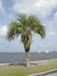 (3 Gallon) Pindo Palm (Jelly Palm) - Beautiful Feather Palm Tree, Leaves Ranging From Light Green to Bluish Gray and Growing 5 to 10 Feet Long. More Cold Hardy Than (Pindo Palm Tree)