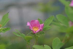 オオタカネバラ (大高嶺薔薇) 9cmポット