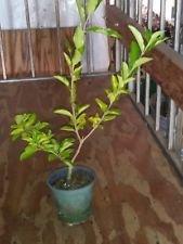Barbados, Acerola Cherry Tree Plant, Live Plant, Pesticide Free 12