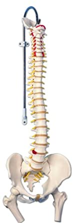 "3B Scientific A58/2 Classic Flexible Spine Model with Femur Heads, 32.7"" Height"