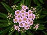 Yarrow, Achillea sibirica var. camschatica 'Love Parade', Pink Yarrow, Live plant Spring shipping starts mid April 2018