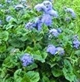 Ageratum - Blue Horizon - 50 Seeds