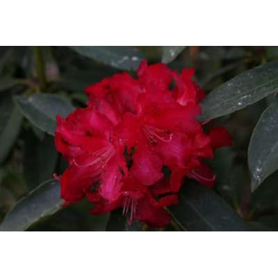 Rhododendron The Honourable Jean Marie de Montague - Large #5 Container Size Plant - Flowering Shrub - Bright Red Blooms : Garden & Outdoor