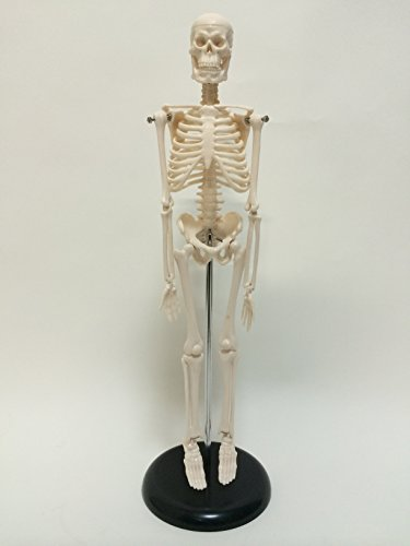 Human body skeleton model 45cm HUMAN SKULL systemic skeleton (finished product) upright stand specification skeletal preparations mannequin by [Aereo di carta]