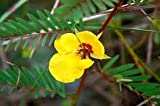 The Dirty Gardener Partridge Pea Seeds - 5 Pounds