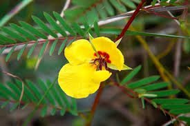 - The Dirty Gardener Partridge Pea Seeds - 1 Pound