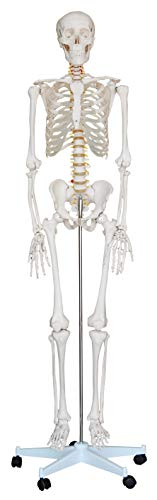 - KS Professional - Mr. Hanks Human Anatomy Skeleton Life Full Size Model 6 ft. Tall with Stand. Perfect for Medical Professionals, Students, Teachers, Educators, Classroom . All Parts are Adjustable.
