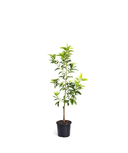 Cold Hardy Avocado Tree - (Mexicola Grande) - Get Delicious Avocados Year Round from This Fruit Tree by Brighter Blooms Nursery - 3-4 ft. | NO Shipping to Arizona (Best Time To Plant Fruit Trees In Arizona)