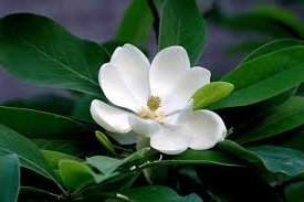 - 5 Seeds of FDR103 Sweet Bay Magnolia (Magnolia Virginana)