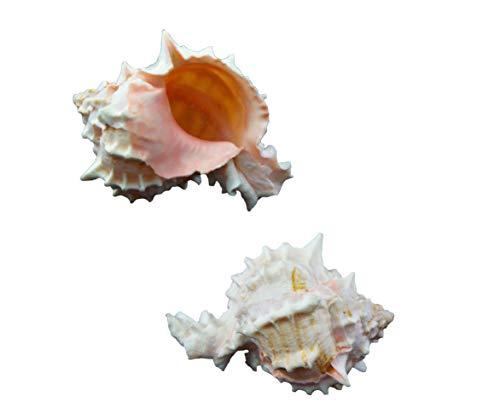 - Pink Murex Shells 2-3