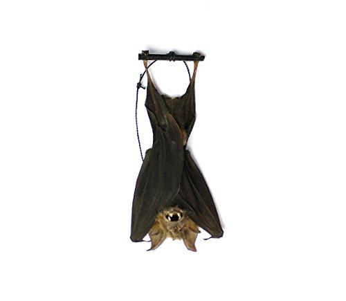 Real Taxidermy Bat | Hanging Intermediate Roundleaf Bat 3″