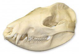 American Opossum Skull (Natural Bone Quality A): Science ...
