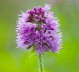 Mint Mentha aquatica 500 Seeds