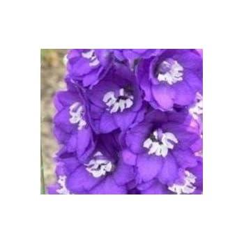 25 Seeds Magic Fountains Mid Blue w White  Bee Delphinium