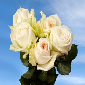 White Wedding Garden Roses | 72 Ou0027Hara Garden Roses White