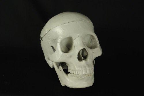 halloween-budget-life-size-human-skull-fourth-quality-item-cs204