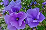 Alyogyne huegelii Blue Hibiscus Lilac Flower Live Plant