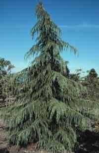 Deodar Cedar Himalayan Cedar Fast Growing Weeping Evergreen