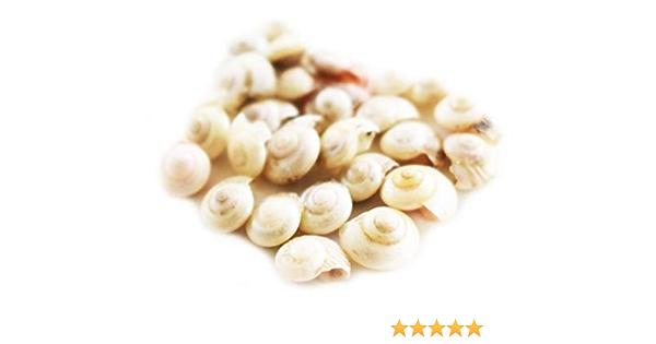 ~ Umbonium Shells ~ Pearlized ~ 100 ~ TINY ~ Shellcraft ~ Sailor/'s Valentines ~