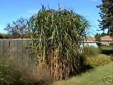 10 seeds of Miscanthus floridus GIANT MAIDEN GRASS Seeds