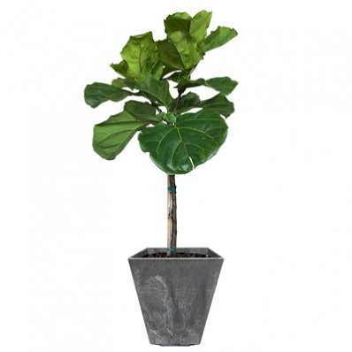 Fiddle Leaf Fig- The Most Popular Indoor Fig Tree- Tall, Live Indoor Fig Trees
