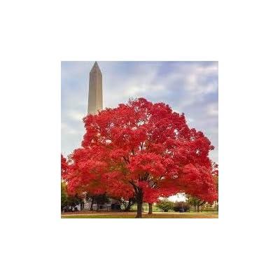 American Red Oak Seeds Beautiful Tree DIY Home Garden Plants Bonsai Tree 2 Pcs/Pack : Garden & Outdoor