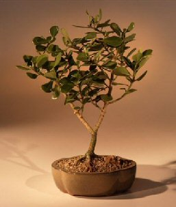 Bonsai Boy S Flowering Tropical Dwarf Apple Bonsai Tree Large Clusia Rosea Nana Buy Online In Dominican Republic Bonsai Boy Products In Dominican Republic See Prices Reviews And Free