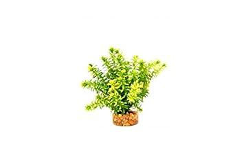Anacharis 16cm Upright Plant Reptile Vivarium Decoration Terrarium