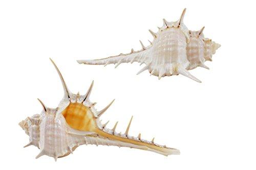"30 Murex Terispina Shells1.5-2"" (Set of 30)"