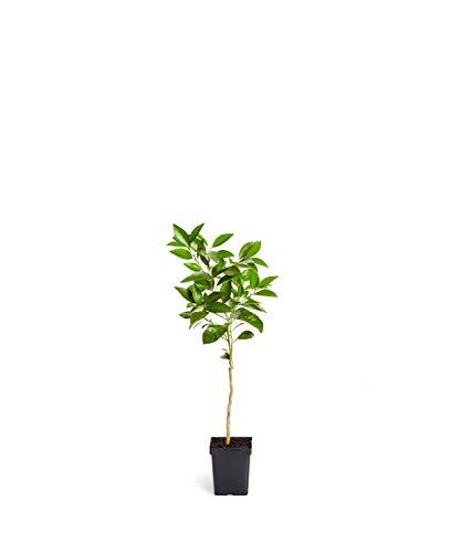 Blood Orange Trees - Large Citrus Trees Available - NO Shipping to CA, FL, TX, LA, AZ - 1-2 ft. (Miniature Citrus Tree)