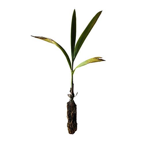 Queen Palm | Medium Tree Seedling | The Jonsteen Company