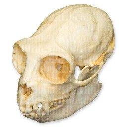 - Golden-headed Lion Tamarin Skull (Teaching Quality Replica)