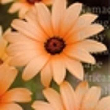 PlenTree 40+ African Daisy Orange Glory Flower Seeds/Annual