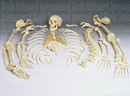 Disarticulated Human Skeleton (Plastic) (Teaching Quality...