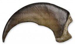 American Black Bear Claw (Medium - 5cm) (Museum Quality Replica)