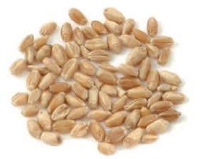 Wheat Kernel Hard -22Lbs: Amazon ca: Grocery