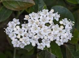 25 Semillas de Durillo (Viburnum tinus)