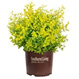 (3 Gallon) Ligustrum Sunshine- Gorgeous year-round golden foliage